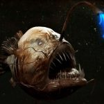 Как размножается морской черт